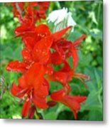 Red Crocosmia Lucifer Metal Print
