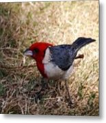 Red Crusted Cardinal Metal Print