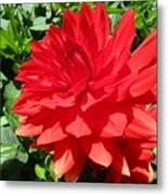 Red Dahlia In The Green Metal Print