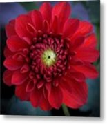 Red Dahlia Square Metal Print
