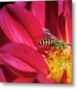 Red Dahlia With Wasp Metal Print