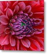Red Dalia Up Close Metal Print
