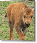 Red Dog Bison In Yellowstone Metal Print