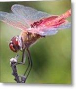 Red Dragonfly 1 Metal Print