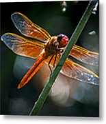 Red Dragonfly On Reed Metal Print