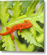 Red Eft Eastern Newt Metal Print