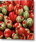 Red Elegant Blooming Tulips  Metal Print