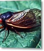 Red Eyed Cicada Metal Print