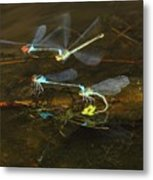 Red Eyed Damselflies Flying And Mating Party Metal Print