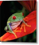 Red-eyed Tree Frog Agalychnis Metal Print