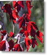 Red Fall Leaves In The Sun Metal Print