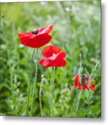 Red Field Poppies Metal Print