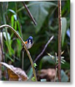 Red-flanked Bluetail 2 Metal Print