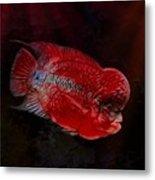 Red Flowerhorn Cichlid Metal Print