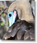 Red Footed Booby Metal Print
