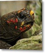 Red-footed Tortoise Metal Print