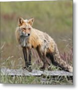 Red Fox  American Camp San Juan Island Metal Print