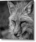 Red Fox In Black And White Metal Print