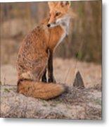 Red Fox In Pose Metal Print