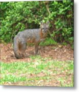 Red Fox In The City Metal Print
