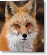Red Fox In Winter Ruff Metal Print