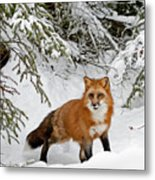 Red Fox In Winter Metal Print