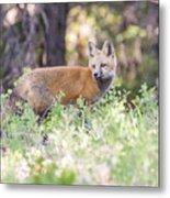 Red Fox Kit Looking For Mom Metal Print