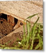 Red Fox Kit Peaking Out From Den Under Old Granary Metal Print
