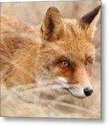 Red Fox On The Hunt Metal Print