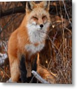 Red Fox Pausing Atop Log Metal Print by Max Allen