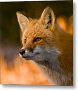 Red Fox Pictures 118 Metal Print
