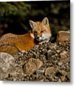 Red Fox Pictures 126 Metal Print