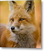 Red Fox Pictures 131 Metal Print