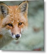 Red Fox Pictures 146 Metal Print