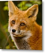 Red Fox Pictures 155 Metal Print