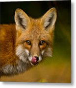 Red Fox Pictures 157 Metal Print