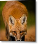 Red Fox Pictures 161 Metal Print