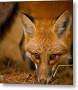 Red Fox Pictures 162 Metal Print