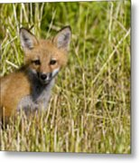 Red Fox Pictures 19 Metal Print