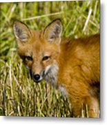 Red Fox Pictures 34 Metal Print
