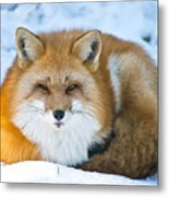 Red Fox Pictures 98 Metal Print