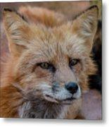 Red Fox Portrait 2 Metal Print