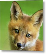 Red Fox Pup Metal Print
