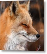 Red Fox With Ice Formed On Brow Metal Print