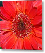 Red Gerber Daisy Metal Print