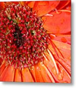 Red Gerbera Daisy Metal Print