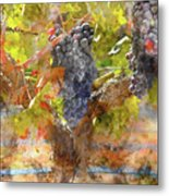 Red Grapes On The Vine During The Fall Season Metal Print