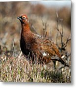 Red Grouse Metal Print