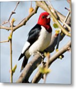 Red-headed Woodpecker At A Glace  Metal Print