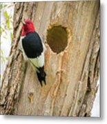 Red-headed Woodpecker At Home Metal Print